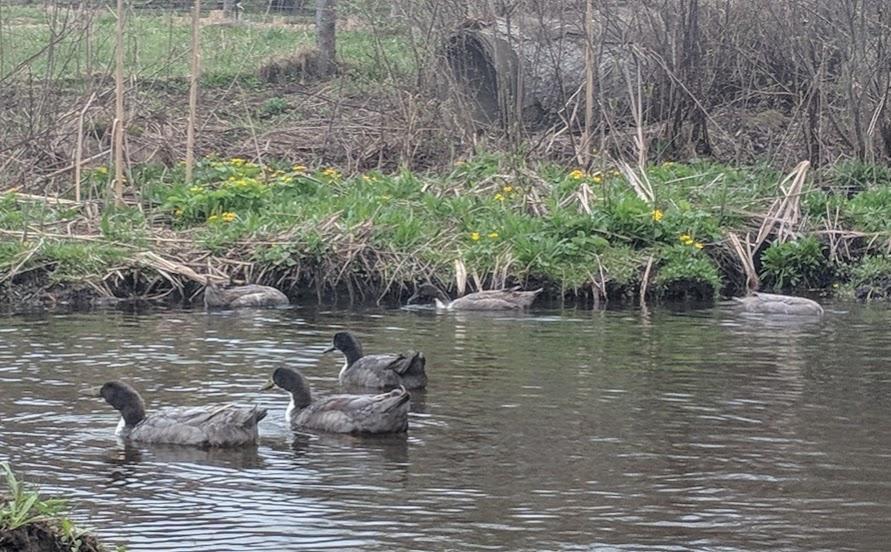 spring 2019 ducks.jpg