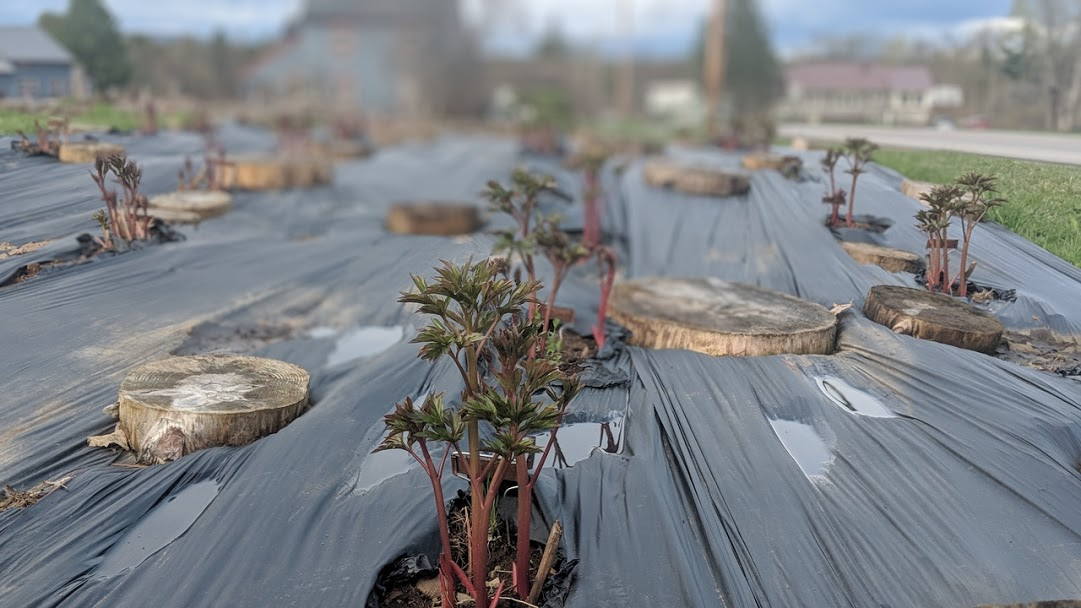 Rows of first-year divisions, thriving in one of the new growing beds