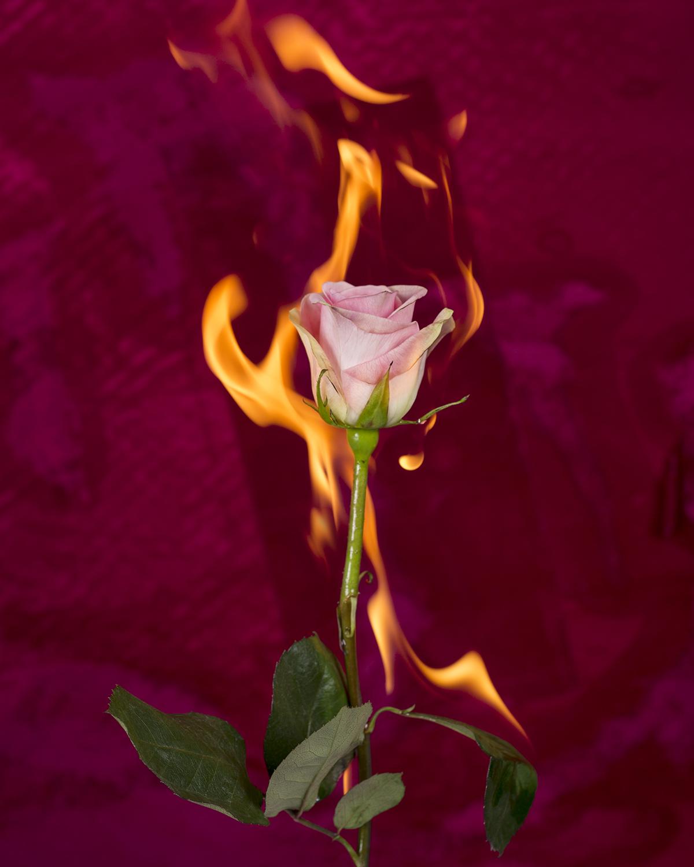 burning_rose_2017.jpg