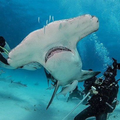 Me and my friendly hammerhead shark in the Bahamas...These majestic animals are relatives of sharks from the Micocene epoch 20 million years ago. They evolved to have mounted eyes on the sides of their heads so they can see above and below them at all times. 📸 by @kadupinheiro  #hammerheadshark #diving #bahamas #bimini #underwaterphotography #divegear #blackdiver