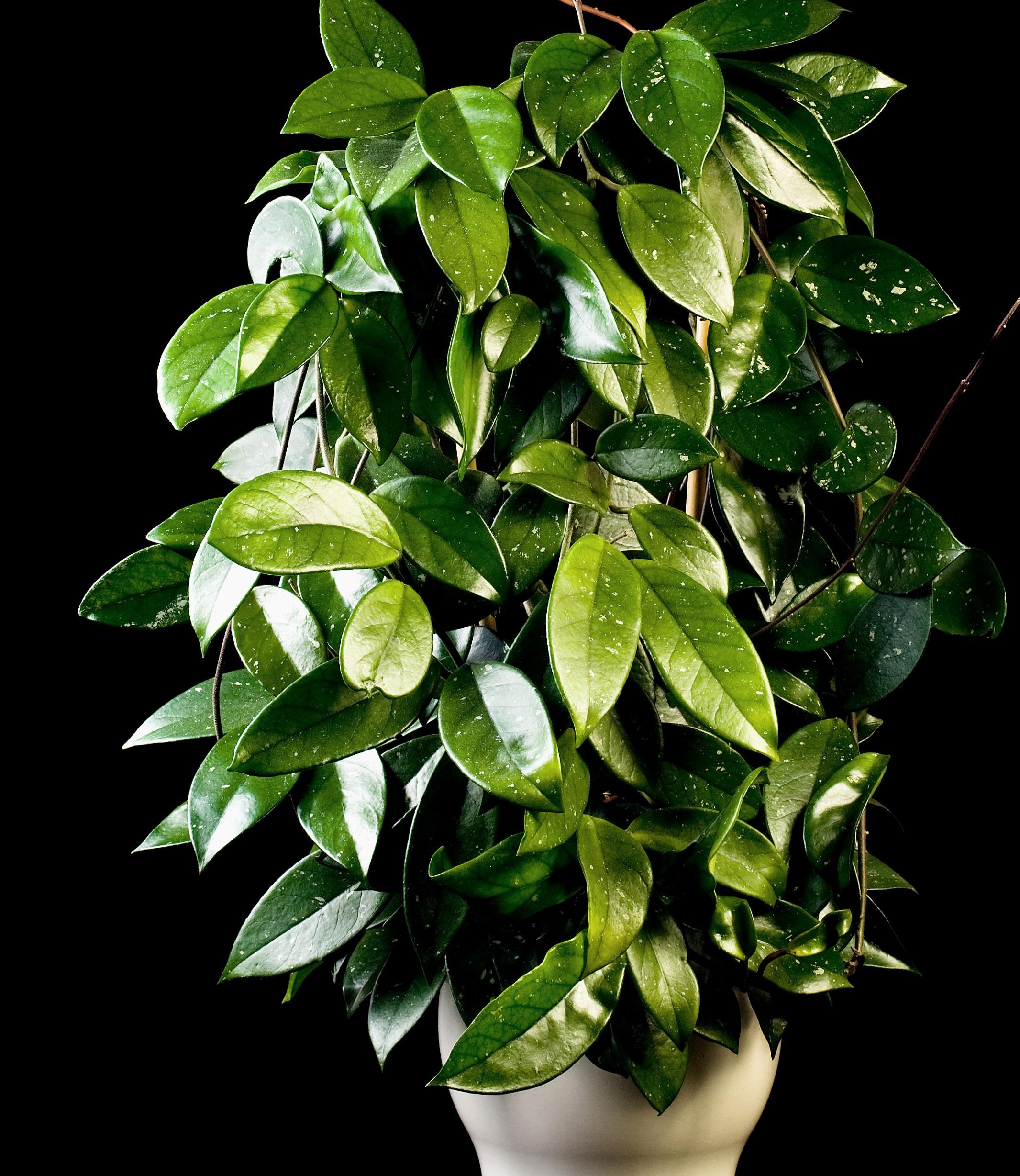 hoya+-+wax+plant.jpg