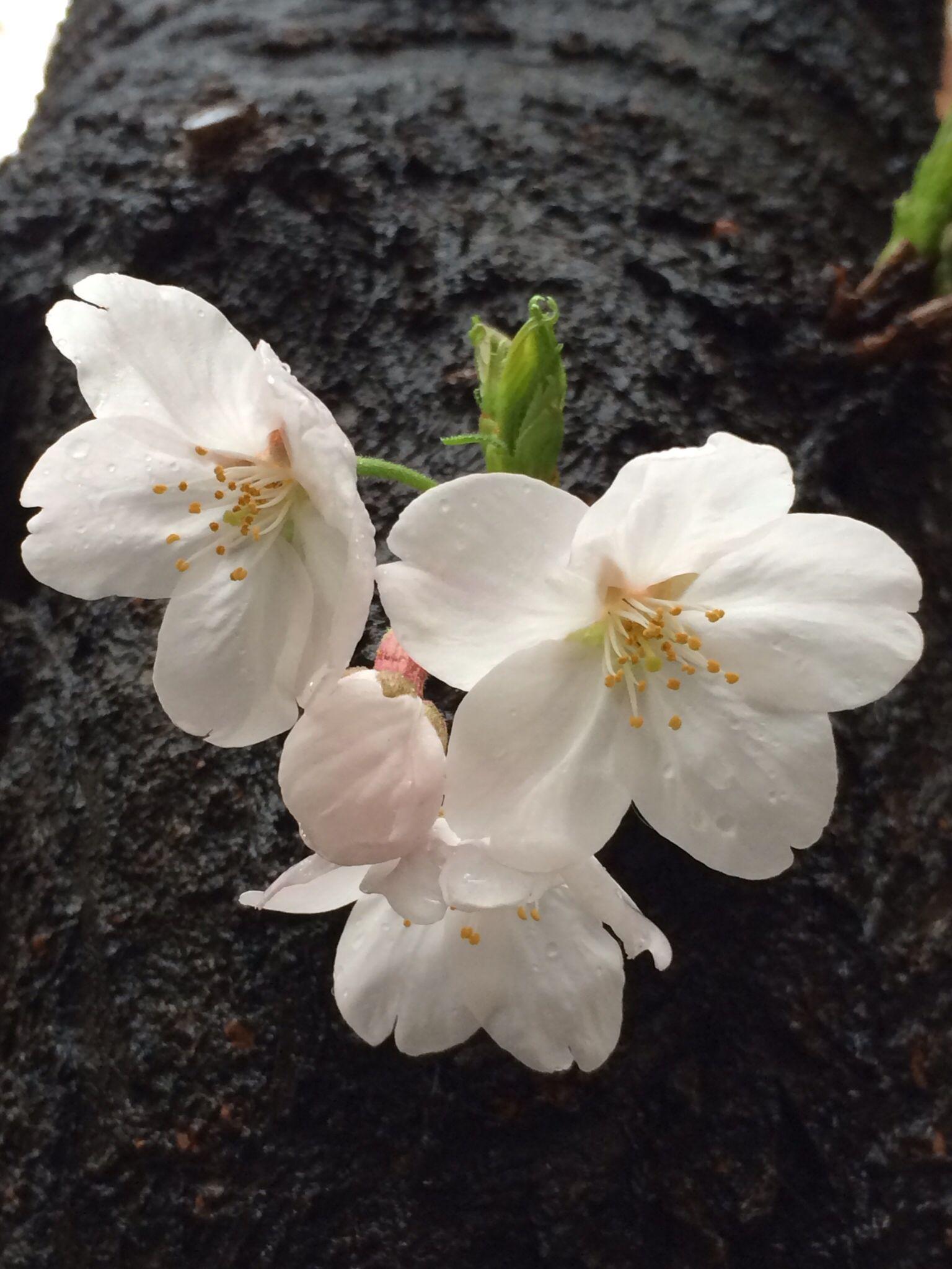 sakura_js.jpg