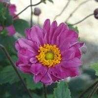 Anemone in gardens.jpg