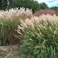 Grasses in gardens.jpg