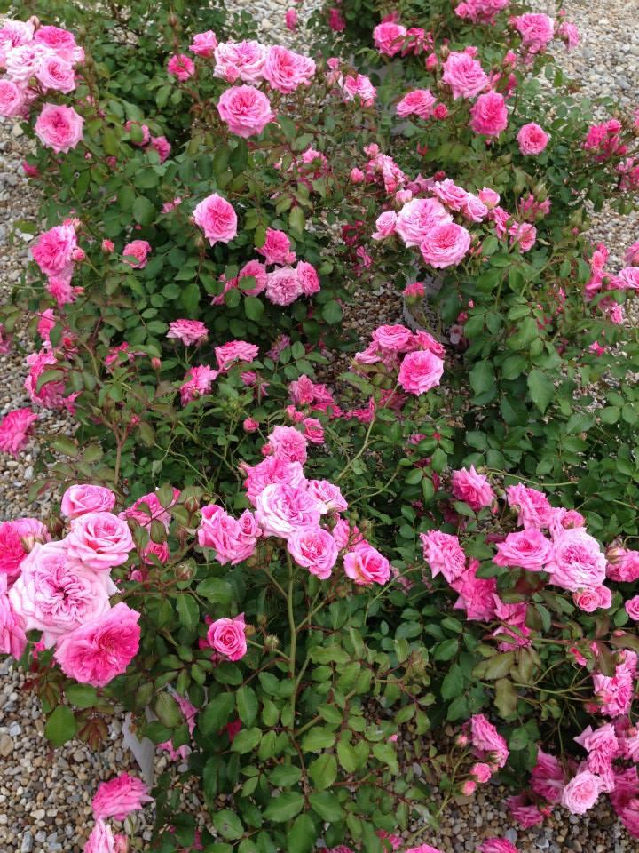 Rosa Sweet Drift