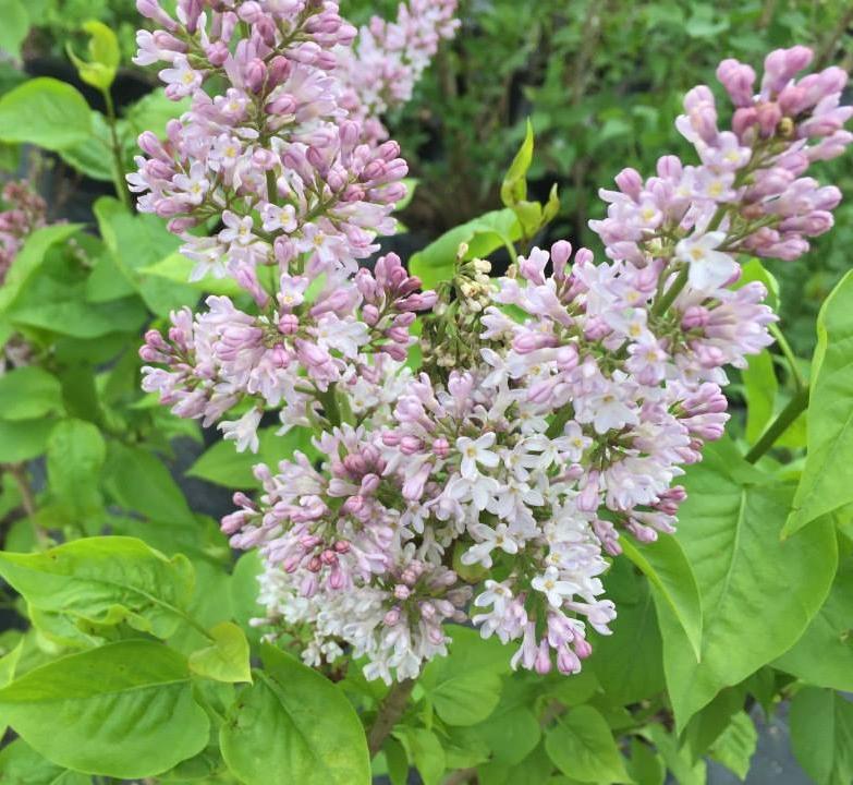 Syringa Common Purple Lilac