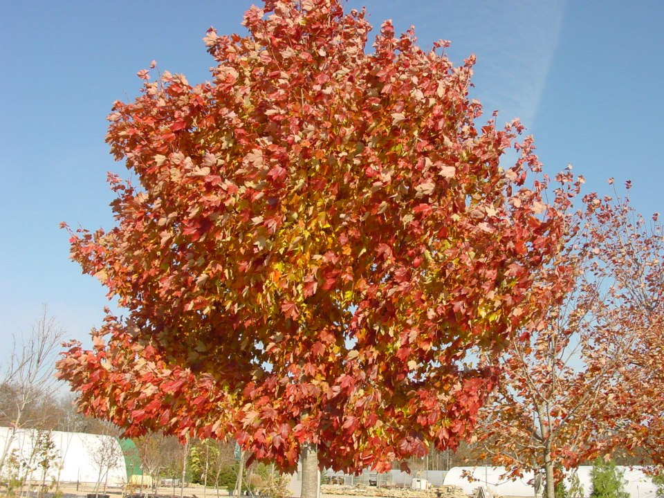 Acer r. October Glory