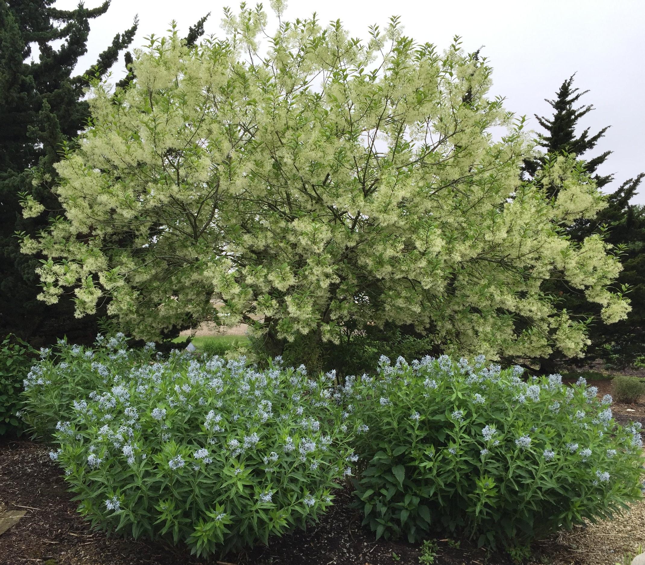 Chionanthus Fringetree