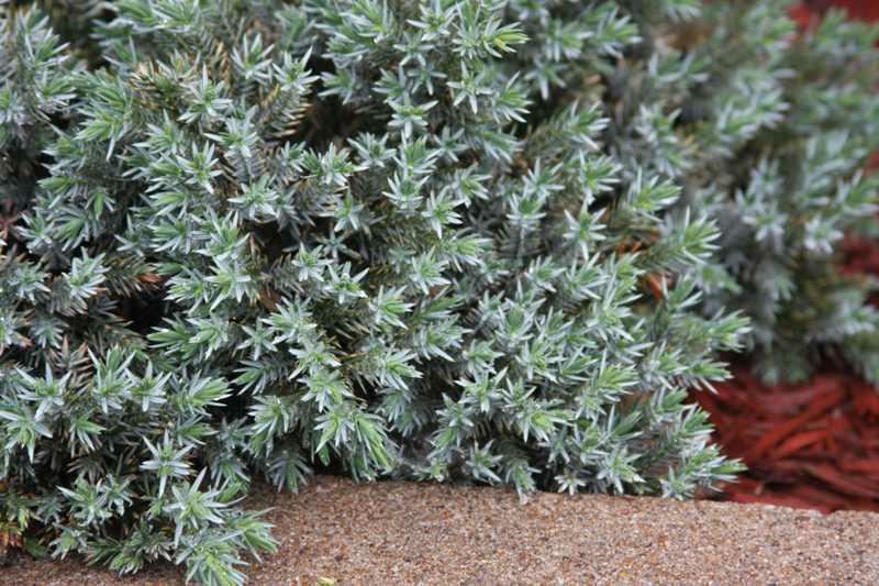Juniperus squamata Blue Star