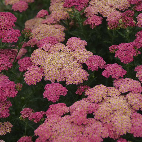Achillea 'Sassy Summer Taffy' PPAF 0000 low res.jpg