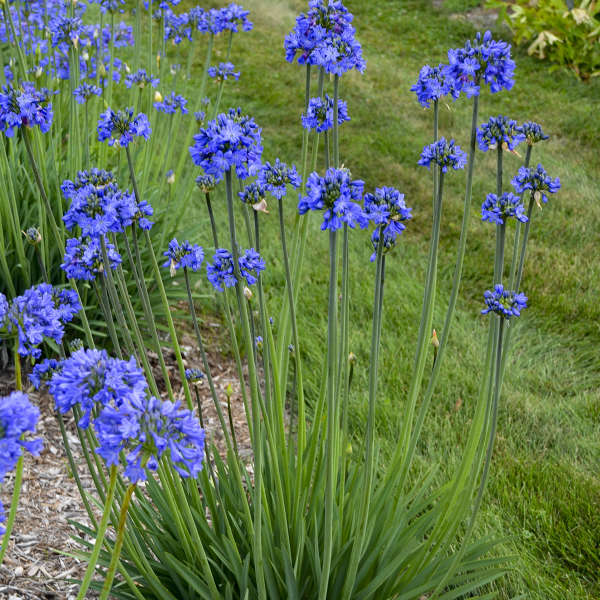 Agapanthus 'Galaxy Blue' PPAF 0001 low res.jpg