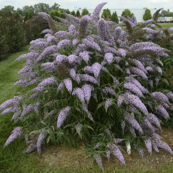 Buddleia 'Grand Cascade' PPAF 0000 low res.jpg