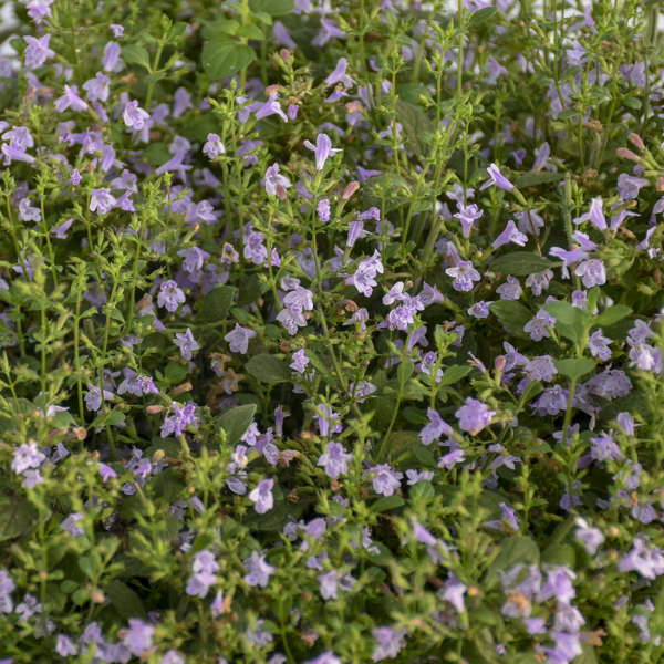 Calamintha nepeta 'Marvelette Blue' 0001 low res.jpg