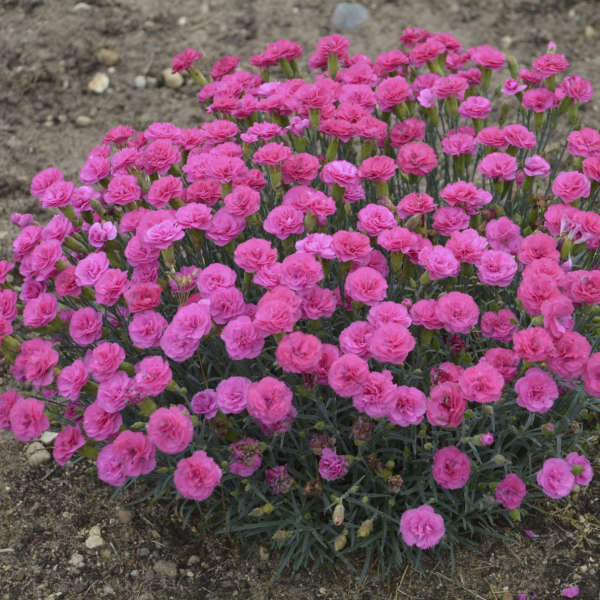 Dianthus 'Double Bubble' PP29972 0001 low res.jpg