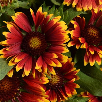 Gaillardia Orange Halo EC.jpg
