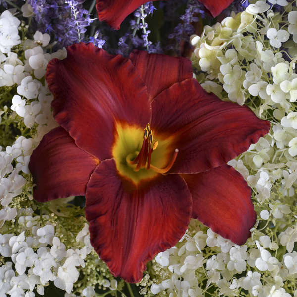 Hemerocallis 'Sun Dried Tomatoes' 0000 low res.jpg