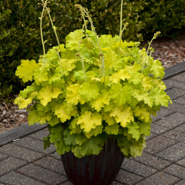 Heuchera 'Lemon Love' PPAF 0000 low res.jpg