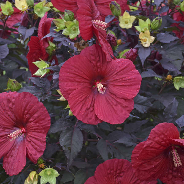Hibiscus 'Holy Grail' PPAF CPBRAF 0001 low res.jpg