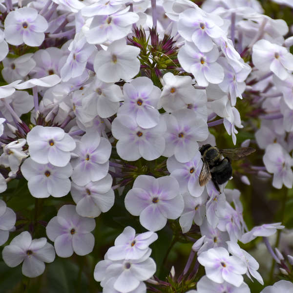 Phlox 'Fashionably Early Crystal' PP28679 0000 low res.jpg