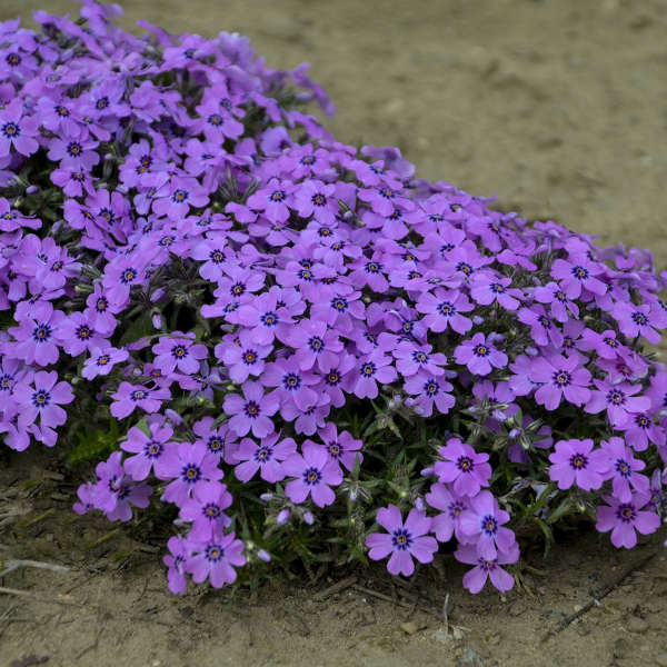 Phlox subulata 'Eye Shadow' PPAF 0000 low res.jpg