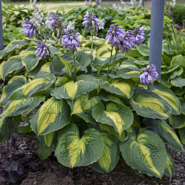 Hosta 'Beyond Glory' PP28784 0001 low res.jpg