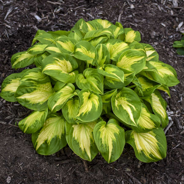 Hosta 'Etched Glass' PPAF CPBRAF 0001 low res.jpg