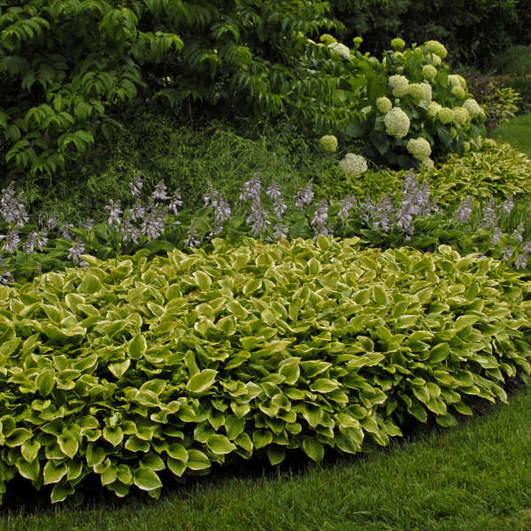 Hosta 'Golden Tiara' 0001 low res.jpg