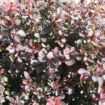 Berberis Royal Burgundy MBG.jpg