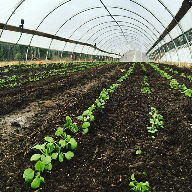 Rows of salad turnips, radishes, greens and more for your May shared #hellospring #freshgreens #csa #eatyourgreens