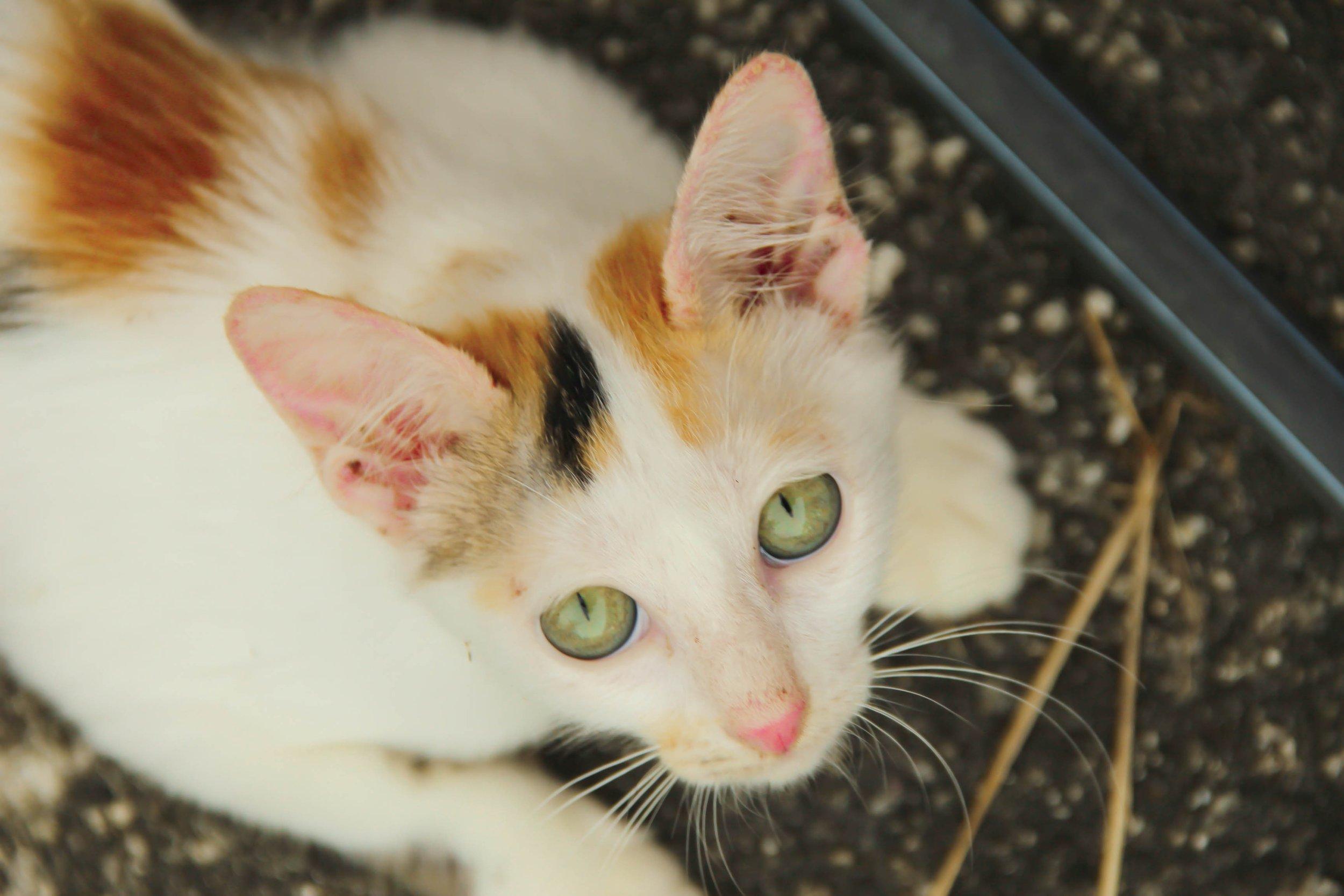 animal-pet-fur-kitten-cat-feline-1018048-pxhere.com.jpg