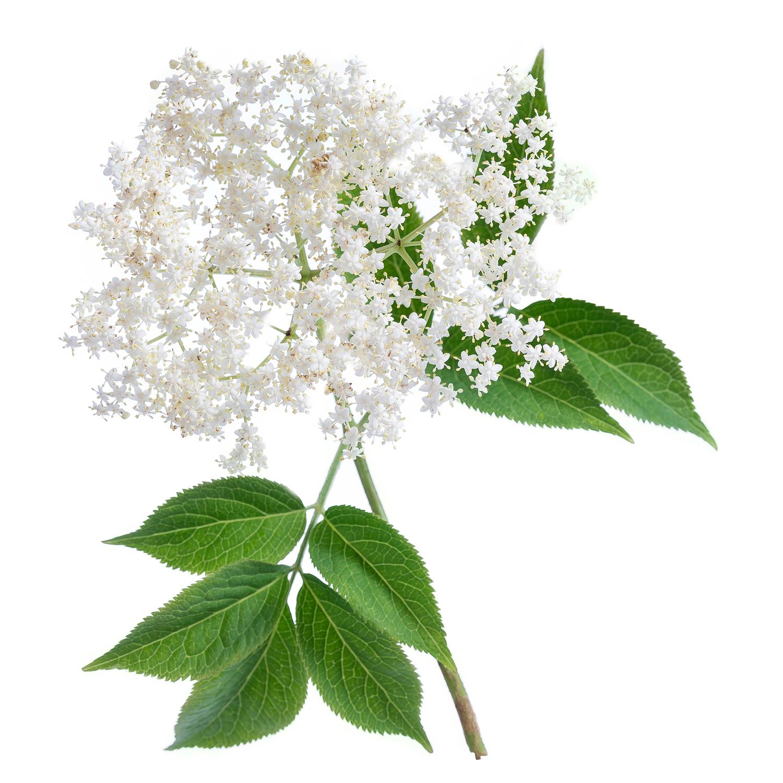 ingredient-elderflower.jpg