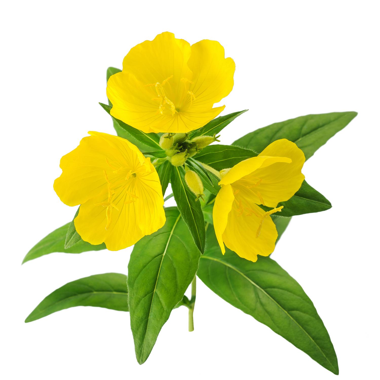 ingredient-evening-primrose.jpg