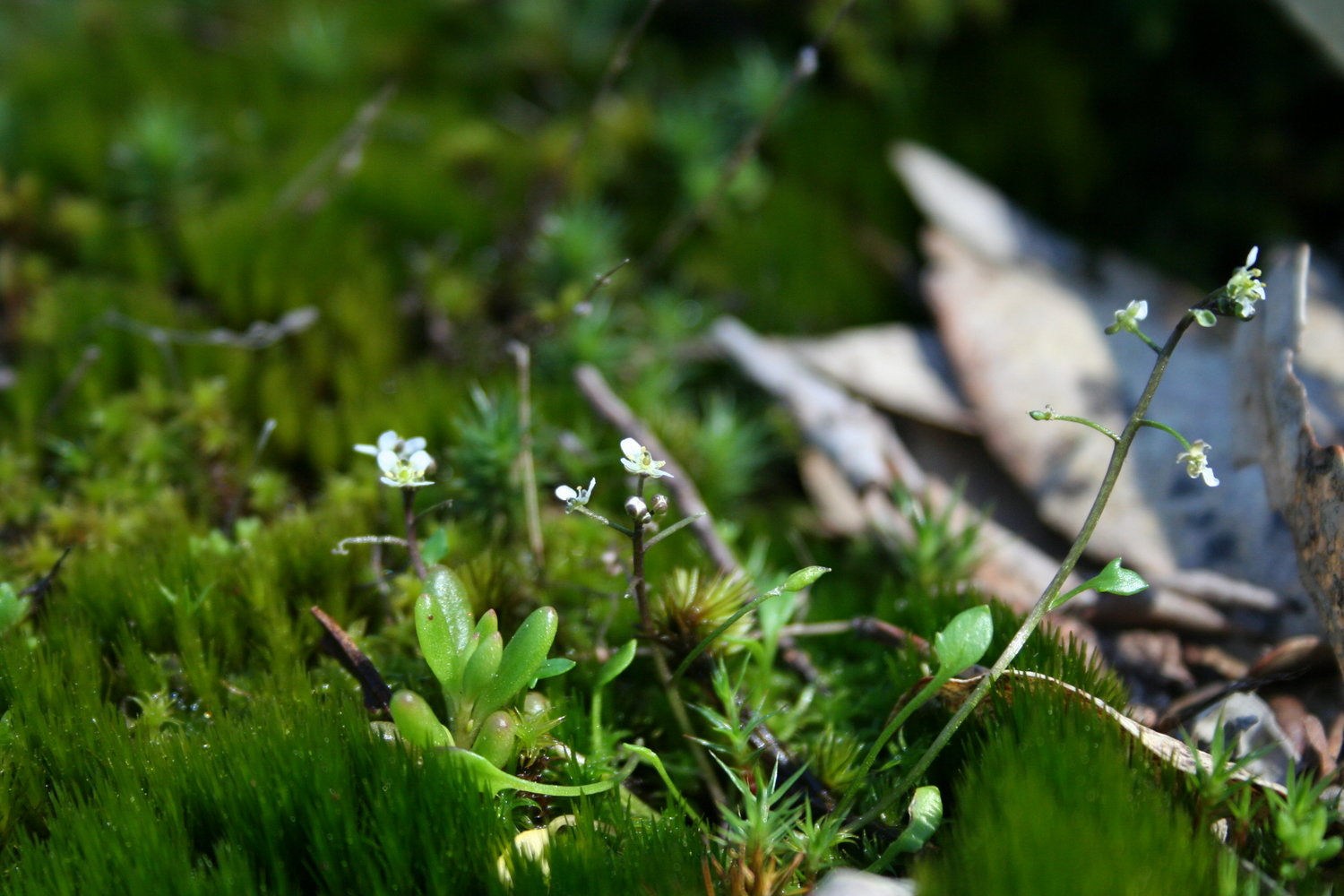 Ballantinia antipoda  (Southern shepherd's purse), an endangered plant threatened by climate change.