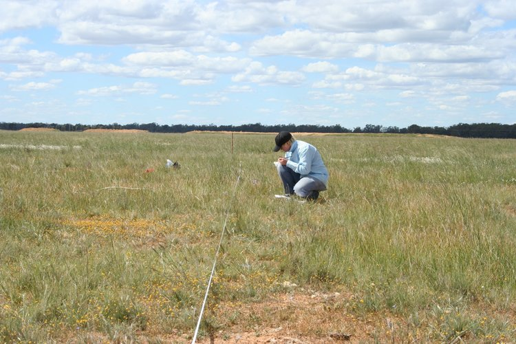 Volunteers play a crucial role in enabling us to collect valuable ecological research data. Work in the Northern Plains of Victoria (pictured above) is helping to explain the importance of pollinators for grassland flora.