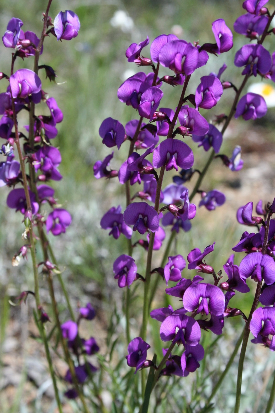 The Small Purple pea,  Swainsona recta  which grows in the Box Gum Woodlands of NSW.