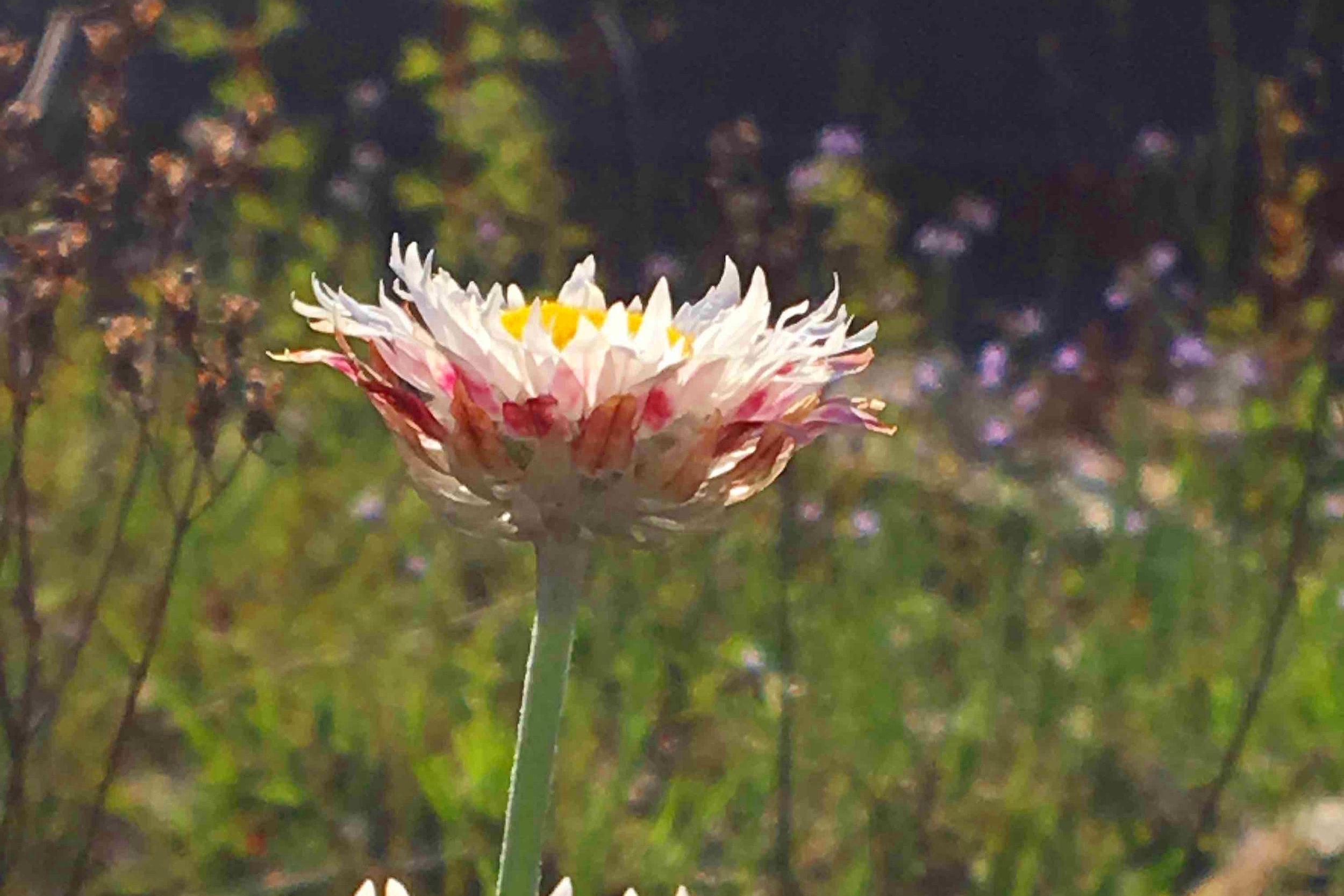 Hoary Sunray,  Leucochrysum albicans  var.  tricolor