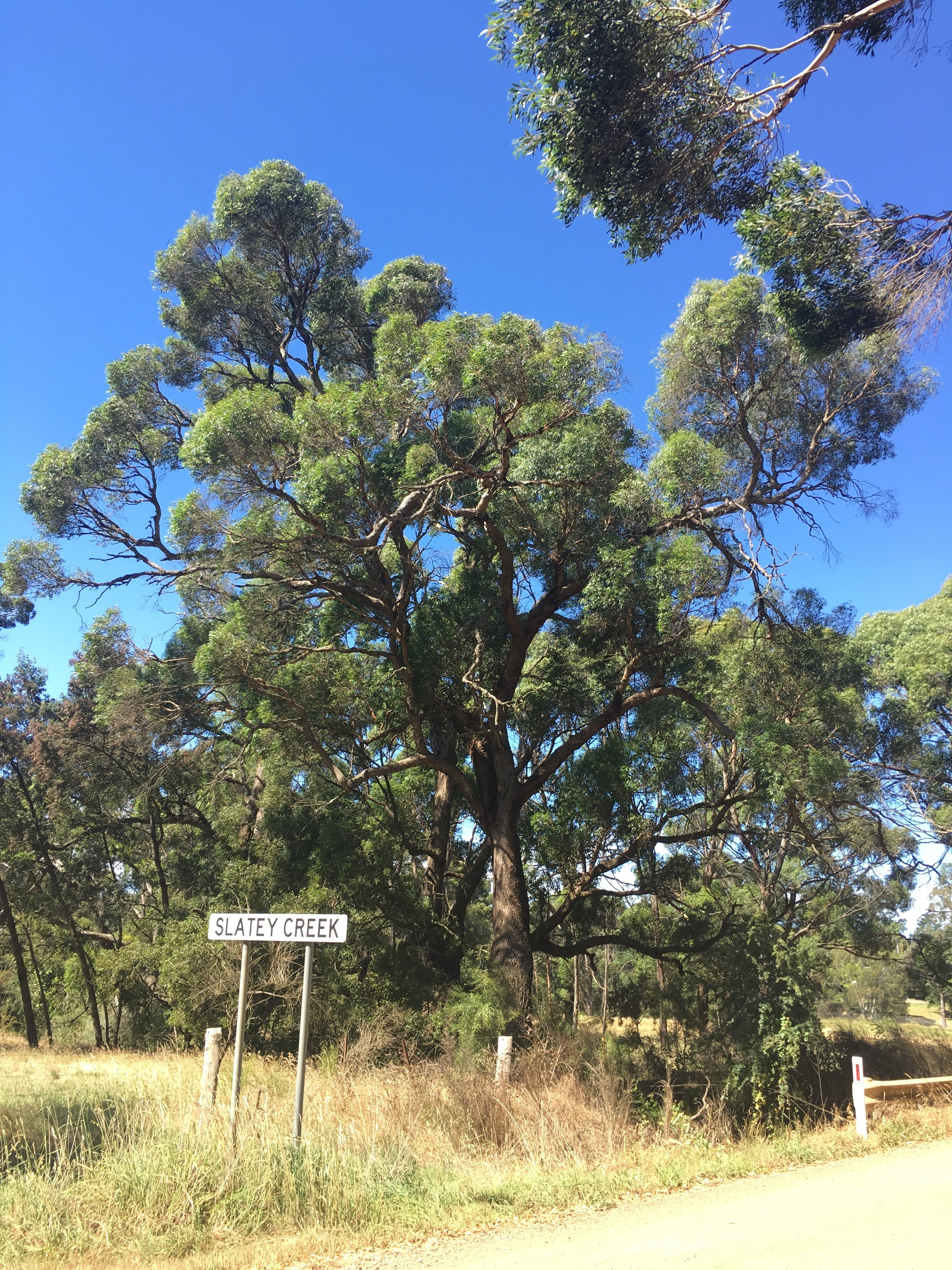 Black Gum grows on the banks of the Five Mile and Slatey Creeks in Woodend.