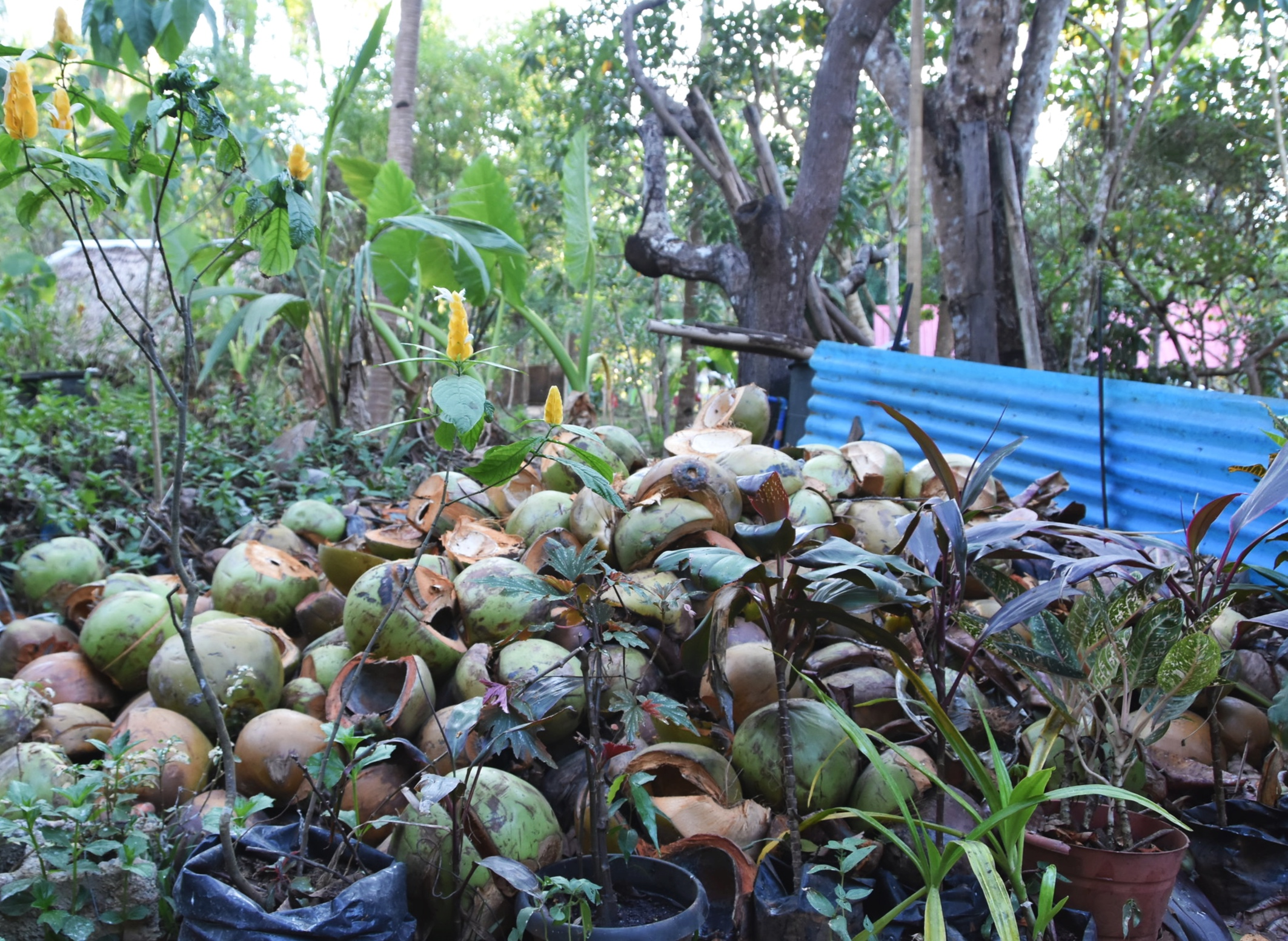 Remnants of buko feasting and coconut fasting
