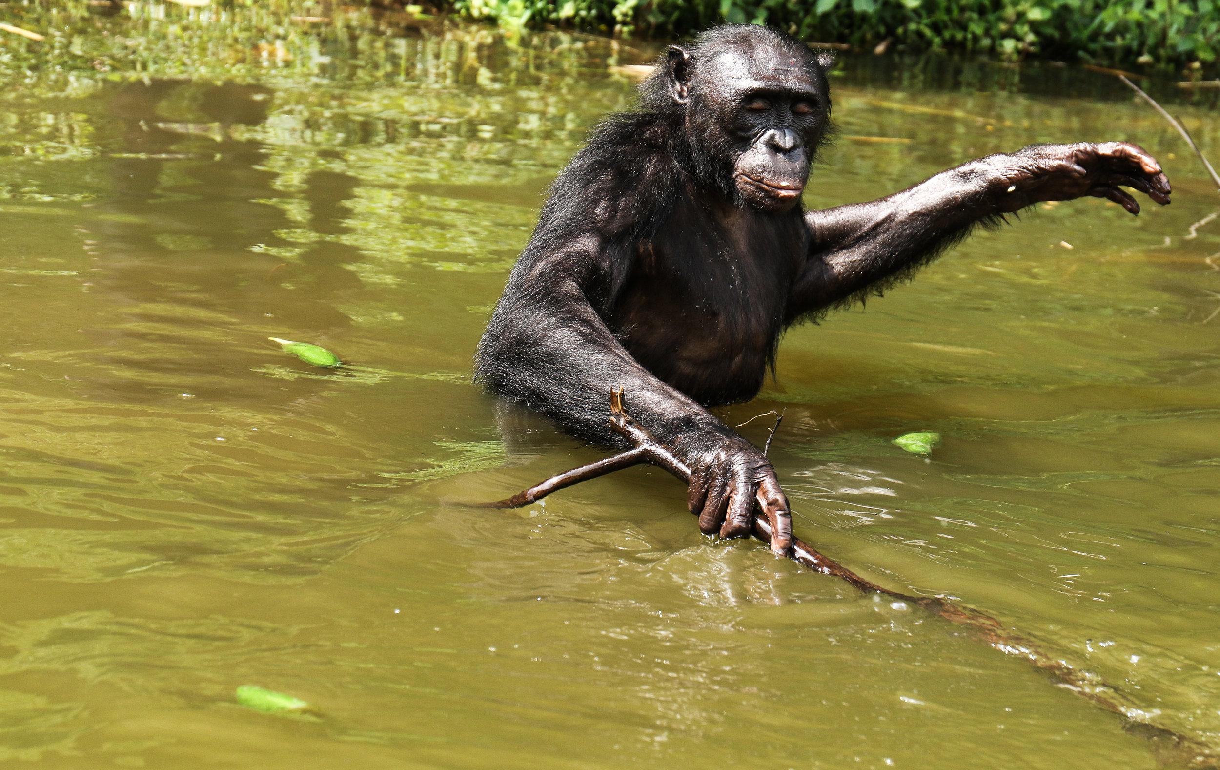 A bonobo wades through the water in Lola ya Bonobo sanctuary outside Kinshasa, DRC