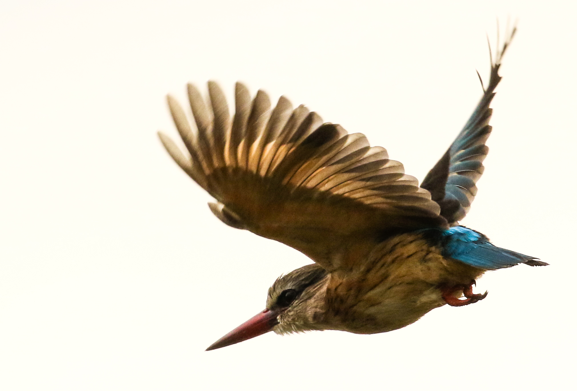 A kingfisher takes flight in Pumba Game Reserve, Eastern Cape, South Africa