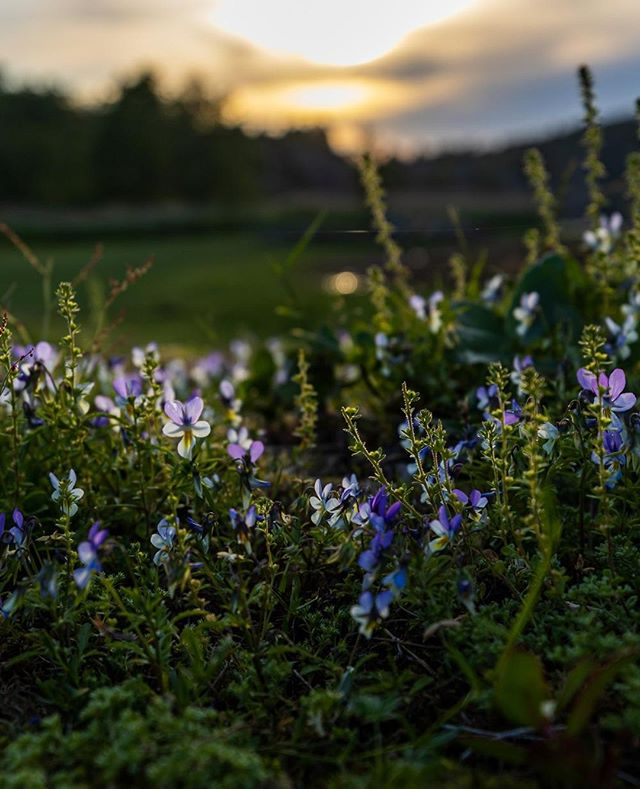 Summer nights 💫 #summer2019 #instasummer #norgebilderno #sunset #summernights #warm #season #summer #utno #flowers #norway #nature #bardalphoto