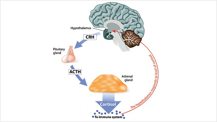 Cortisol production cycle.