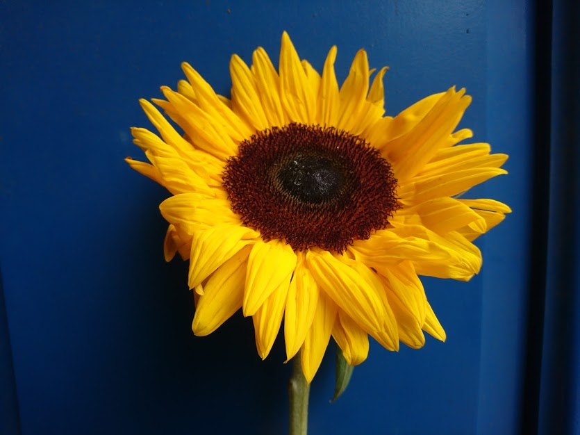 Sunflower from the iDA Award ceremony at the University of Atypical, Belfast
