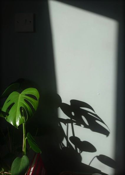Pablo the Monstera