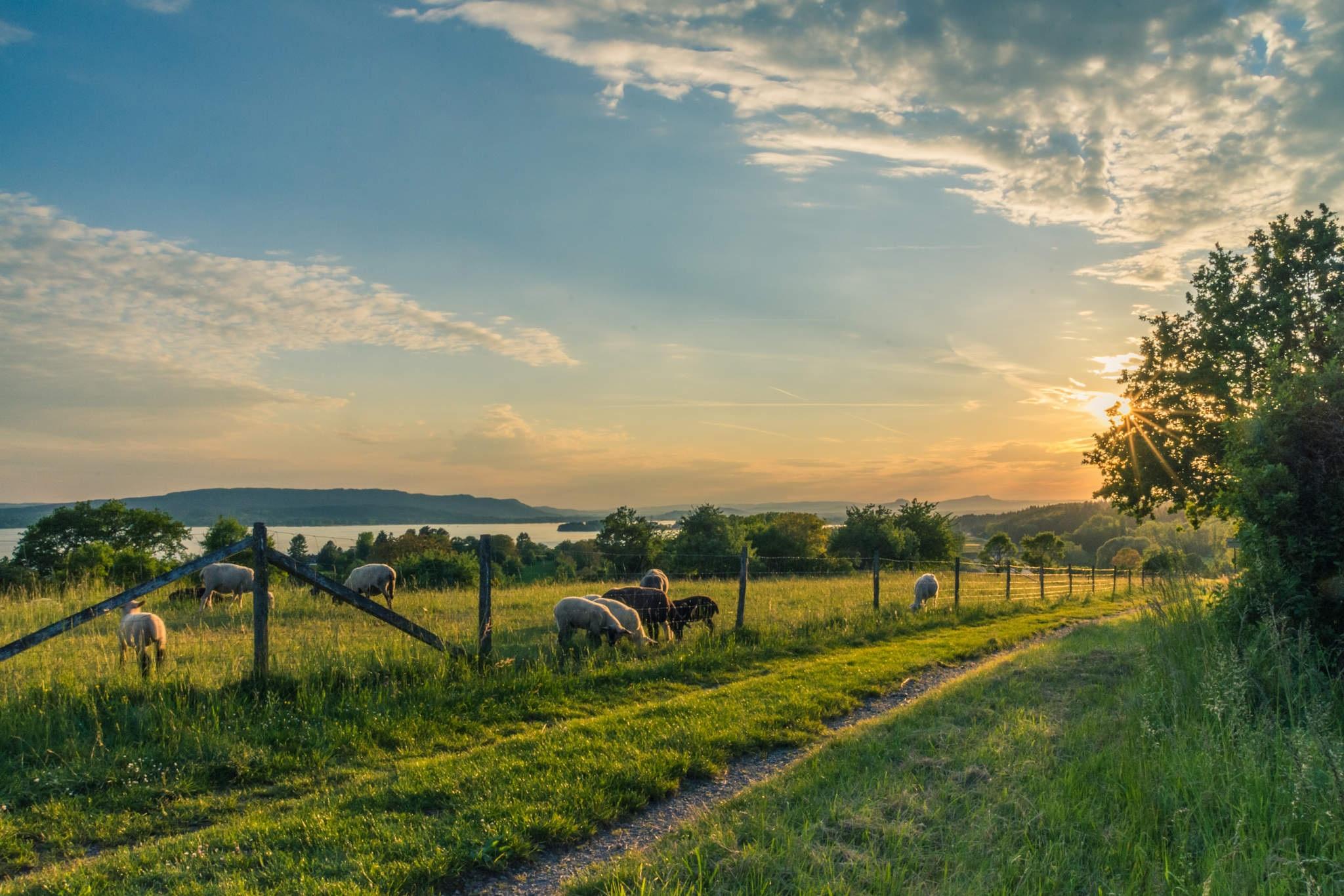 lake-constance-sheep-pasture-sheep-blue-158179.jpeg