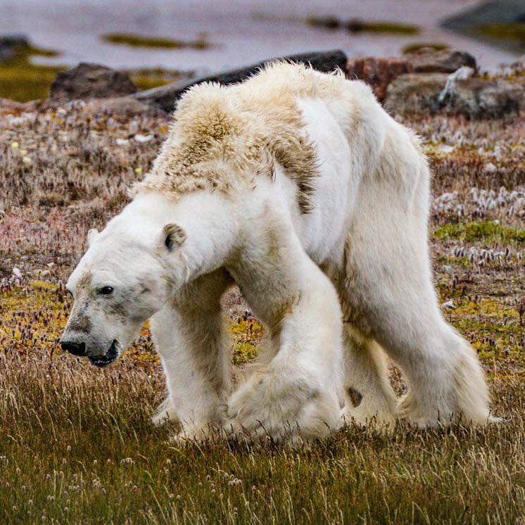 dying polar bear.jpg