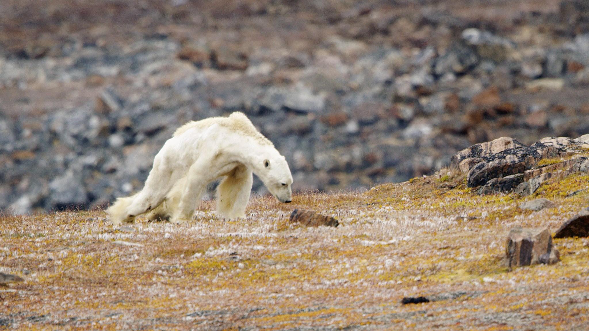 Starving Polar Bear.jpg