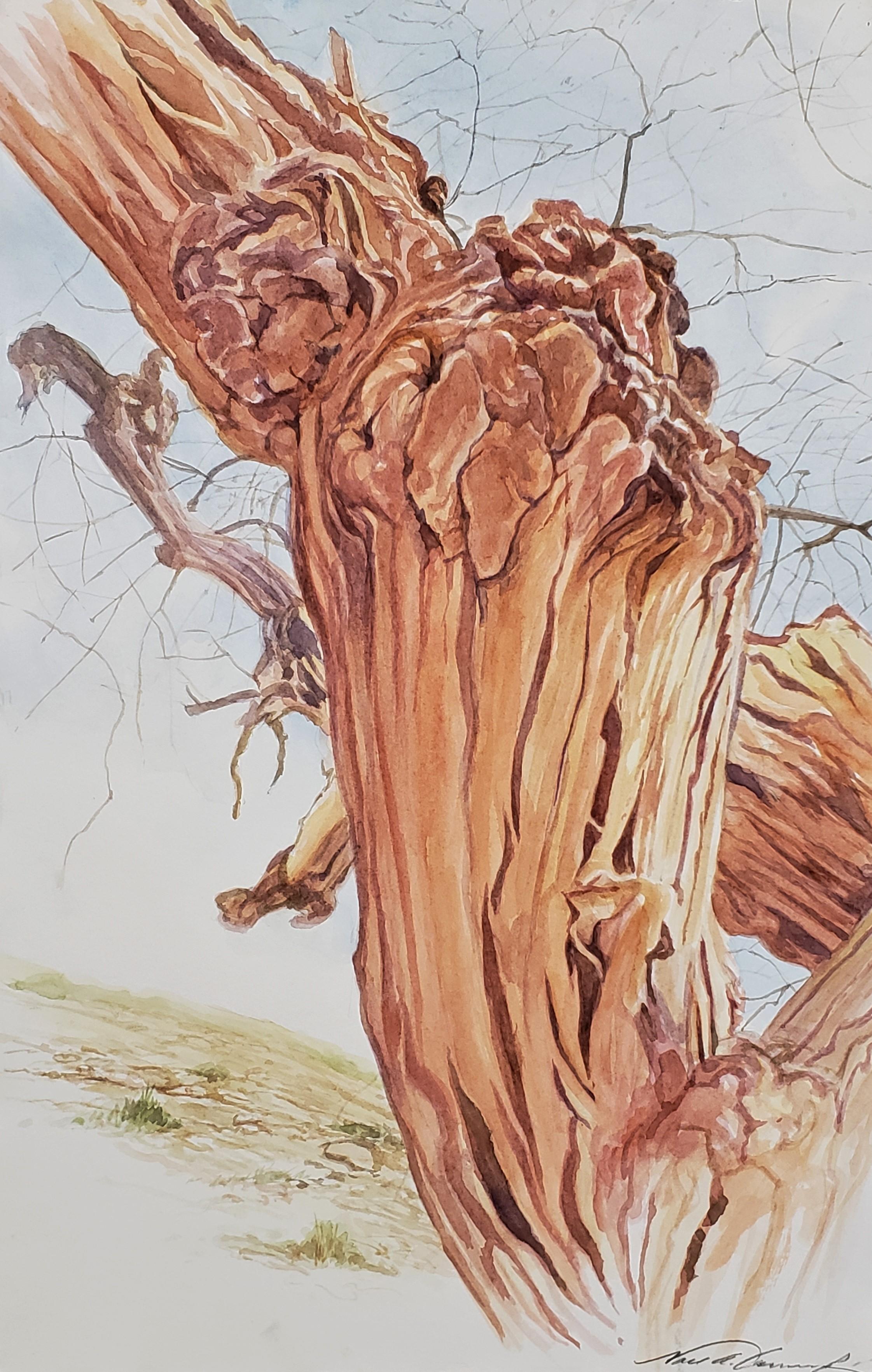 Cottonwood on Little Wildhorse Ravine
