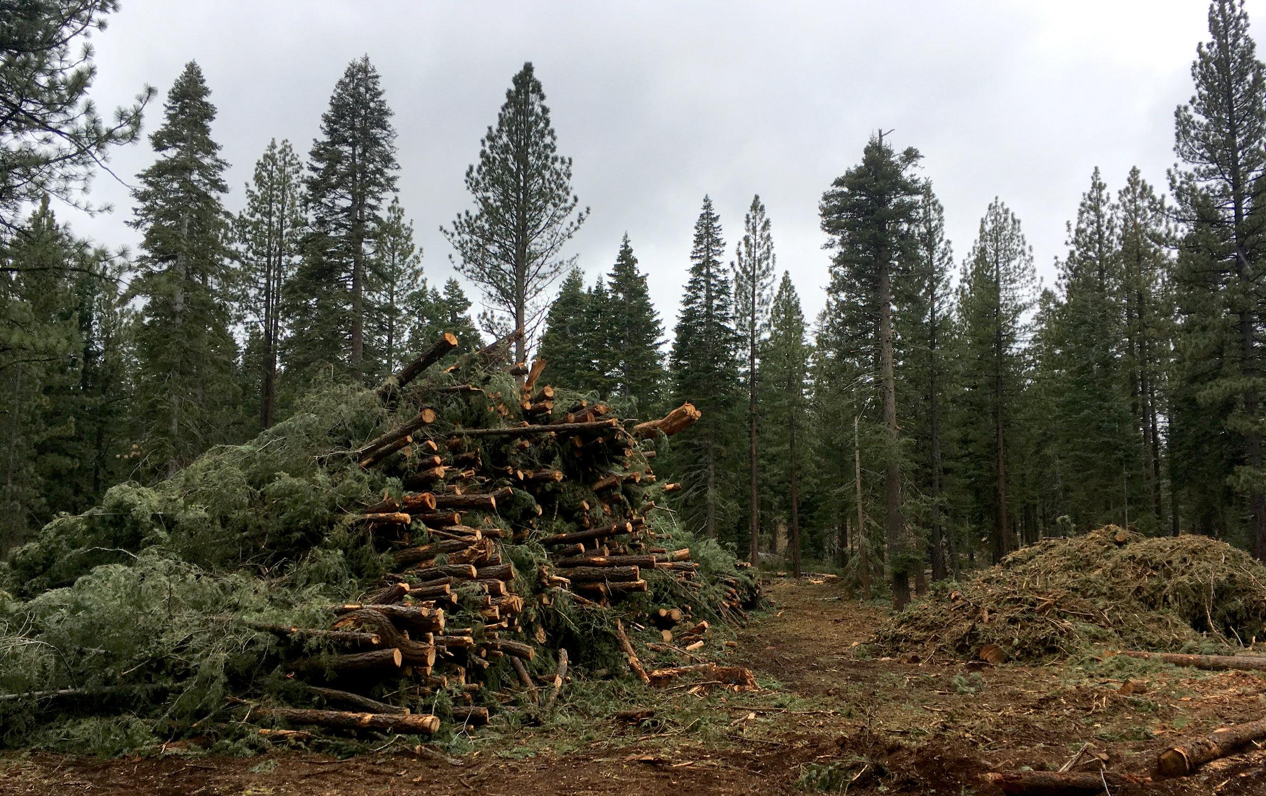 sagehen_trees_logging.jpg