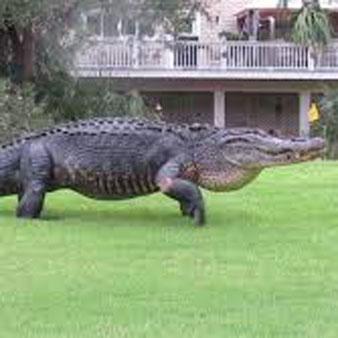 Fripp-Island-Resort-Rentals-Wildlife-Gator.jpg